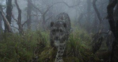 惊艳!熊猫基地红外相机首次拍摄到雪豹现身
