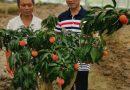 南方荔枝在上海浦东新区培育成功–访上海浦东新区翠谷果蔬专业合作社